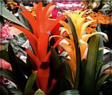 Torch Bromeliad by trixxie17, photography->flowers gallery