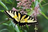 A Blue Ridge Butterfly by jeenie11, photography->butterflies gallery