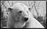 Polar Bear by Jimbobedsel, contests->b/w challenge gallery