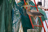 don't get caught in the nets by jeenie11, Photography->Birds gallery