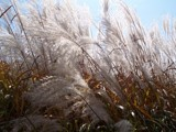 Pampas Grass by Mitsubishiman, Photography->Nature gallery