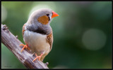 Zebra Finch by kodo34, Photography->Birds gallery