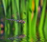 Southern Migrant Hawker by biffobear, photography->insects/spiders gallery