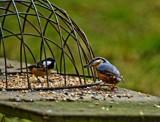 The Jailbird by biffobear, photography->birds gallery