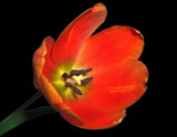 Tulip by ccmerino, Photography->Flowers gallery