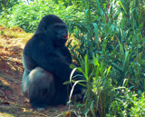 Gorilla by JEdMc91, Photography->Animals gallery