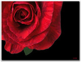 Red Striped Rose by ccmerino, Photography->Flowers gallery