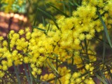 Wattle they think of this... by J_272004, Photography->Flowers gallery
