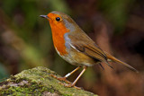 Robin by biffobear, photography->birds gallery
