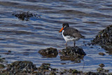 Oystercatcher by biffobear, photography->birds gallery