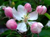 Apple blossom by jamesbenoit, Photography->Flowers gallery