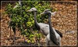 Demoiselle Cranes by Jimbobedsel, photography->birds gallery