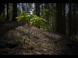 oak sapling warming itself in the morning sun by jzaw, Photography->Landscape gallery