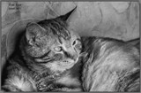 Tom Tom_B&W by tigger3, photography->pets gallery
