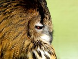 Eagle-owl 2 by ppigeon, Photography->Birds gallery