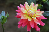 Double coloured Dahlia by Ramad, photography->flowers gallery