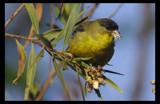 Lesser Goldfinch by garrettparkinson, Photography->Birds gallery