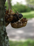 17 year cicada by robert1222, photography->insects/spiders gallery