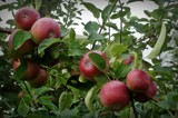 Apple picking time by picardroe, photography->nature gallery