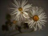 Spider Daisies by anawhisp, abstract gallery