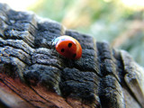Ladybird by macroart, Photography->Insects/Spiders gallery