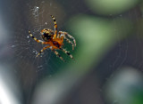 Araneus diadematus by biffobear, photography->insects/spiders gallery