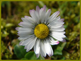 Sunday Daisy by hdwillems, Photography->Flowers gallery
