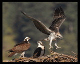 Practice Flight ............The Bounce by garrettparkinson, photography->birds gallery