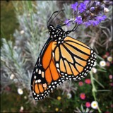 Monarch by LynEve, photography->butterflies gallery