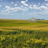 Corn, Corn by Starglow, photography->landscape gallery