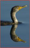 Mirrored Swimmer by garrettparkinson, Photography->Birds gallery