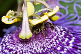 Bee on Passionflower by ryzst, photography->insects/spiders gallery