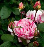 """""""Scentimental"""" Floribunda Rose by trixxie17, photography->flowers gallery"""
