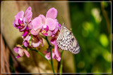Butterfly On Orchid by corngrowth, photography->butterflies gallery