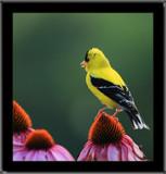 The Goldfinch_Garden Poise by tigger3, photography->birds gallery