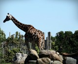 GIRAFFE by GIGIBL, photography->animals gallery