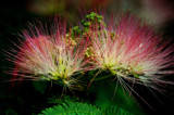 Mimosa Light by SatCom, Photography->Flowers gallery