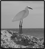 Egret in BW by diaz3508, Photography->Birds gallery