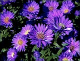 Asters by trixxie17, photography->flowers gallery