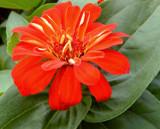 Late Zinnia by trixxie17, photography->flowers gallery