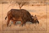 Bad mood Bull by mmynx34, Photography->Animals gallery