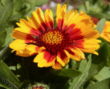 'Arizona Sun' Gaillardia by trixxie17, photography->flowers gallery