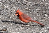 The Male Cardinal #2 by tigger3, photography->birds gallery