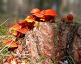 tree fungi by Lin_O, photography->mushrooms gallery