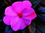 Passionate Magenta by paramedyc, Photography->Flowers gallery