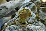 Bearded Dragon by biffobear, photography->reptiles/amphibians gallery