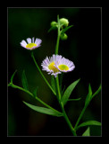 Fleabane 2 by gerryp, Photography->Flowers gallery