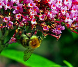 Busy Bee by biffobear, photography->insects/spiders gallery