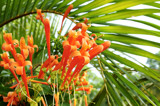 Orange Trumpet Vine by prashanth, Photography->Flowers gallery