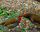 French Kissing by biffobear, photography->birds gallery